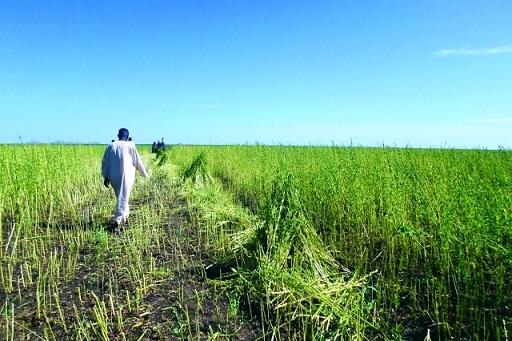النيل الأزرق تحتفل ببداية حصاد السمسم والفول السوداني