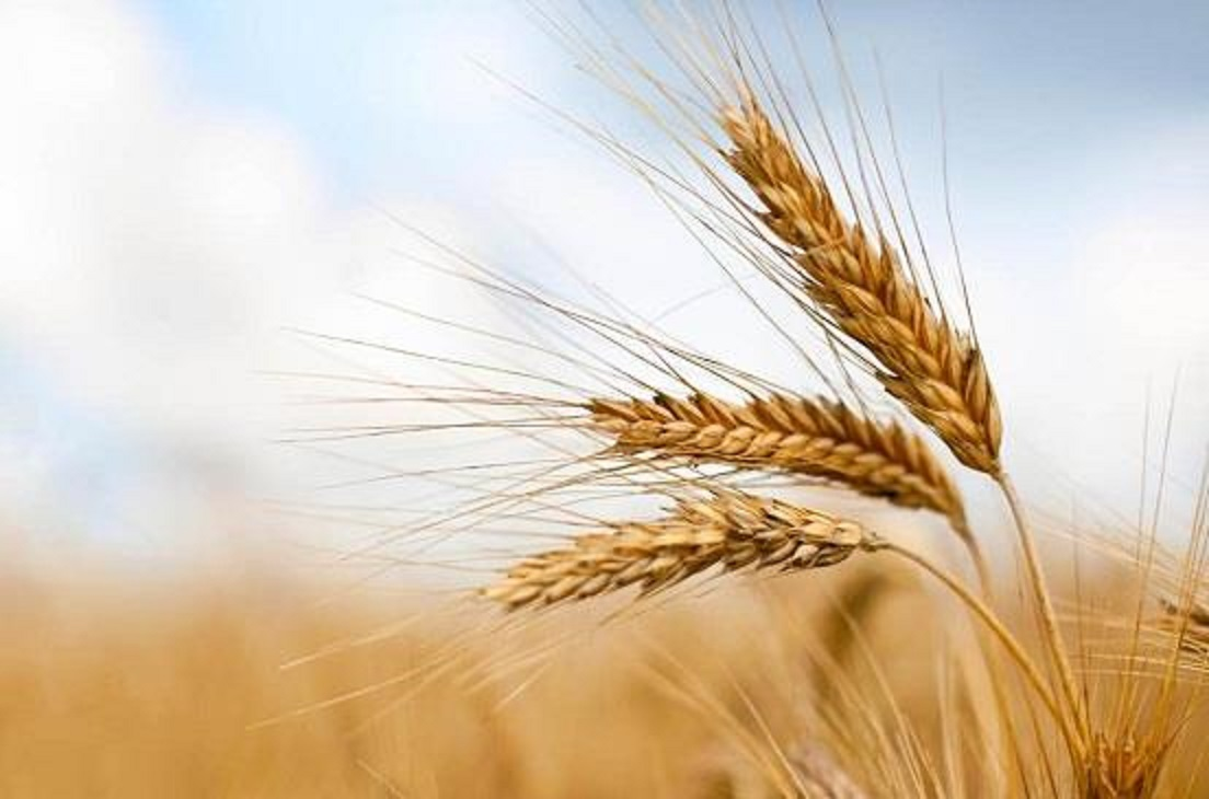روسيا ترغب بزيادة تصدير القمح لـ (2) مليون طن إلى السودان
