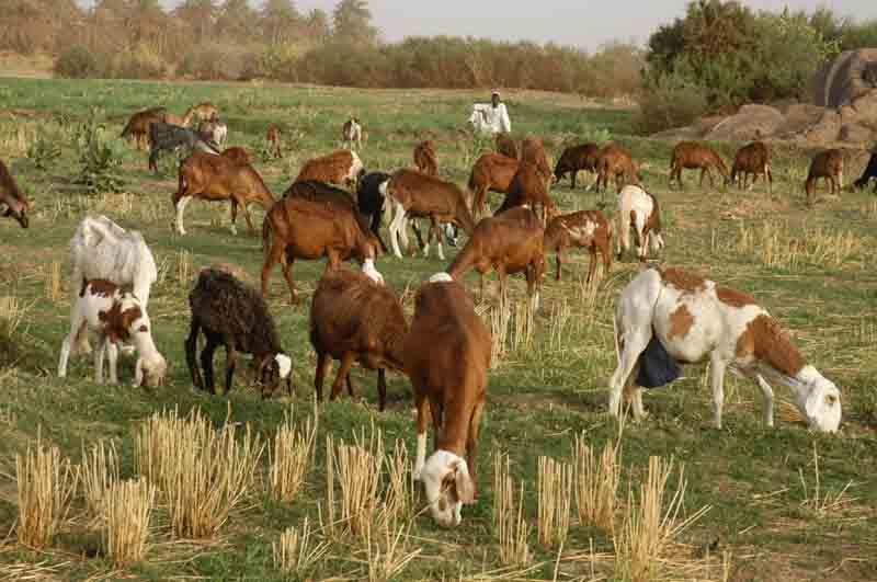 استجلاب نطف مجمدة لحيوانات امريكية لتحسين السلالات السودانية