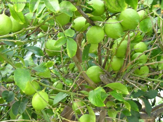 الليمون… (الحبة بخمسة جنيه والحسابة بتحسب)..!
