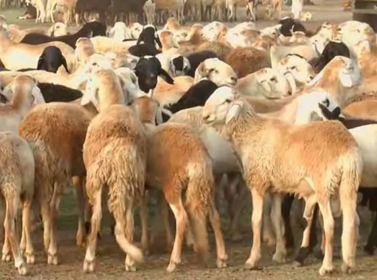 اقتصادي: الثروة الحيوانية مسؤولة عن توقف صادرات البلاد من الهدي