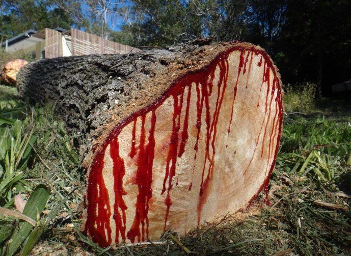 أمر قبض لنظاميين في قضية شجرة الصندل