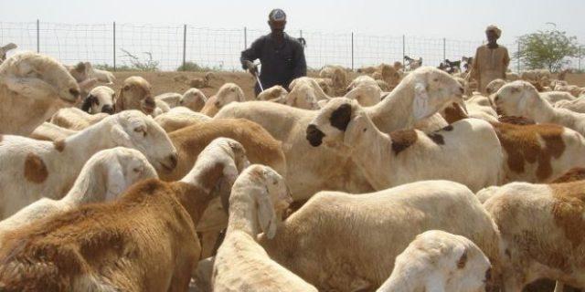 توقعات بارتفاع صادر الثروة الحيوانية لـ(6) ملايين