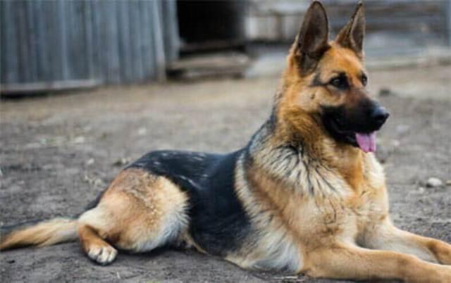 كلب (ألماني) في محكمة بحري