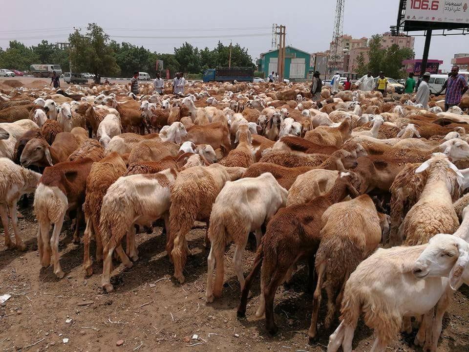 وفاة راعي وإصابة زميله ونهب (300) خروفاً