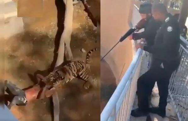 شاب سوداني يرمي نفسه داخل حظيرة النمور في السعودية