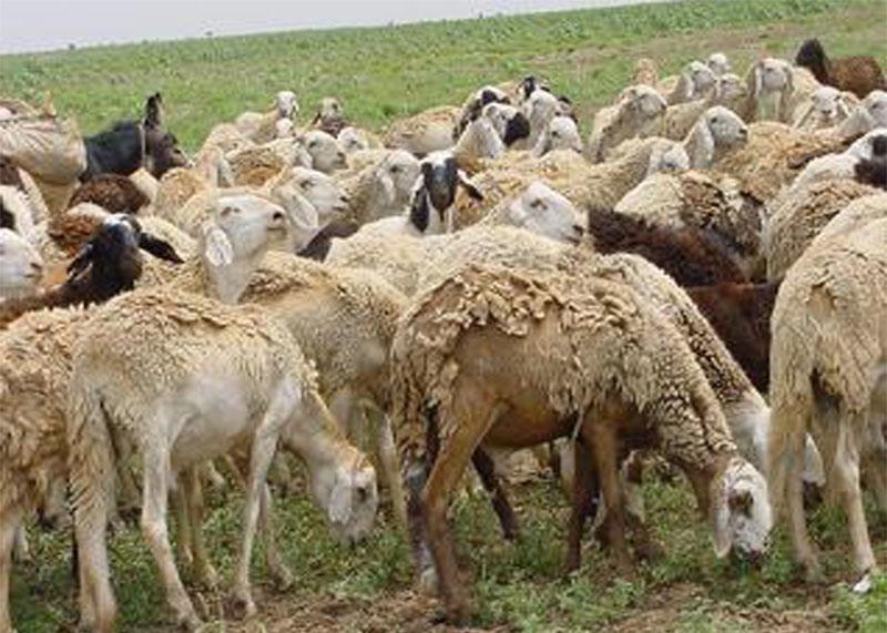 وزير الثروة الحيوانية: جهات تعرقل انسياب الصادر