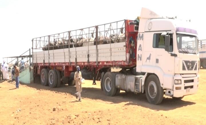 تدشين أول شحنة صادر أبقار إلى مصر